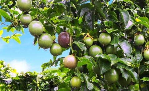 HNG sẽ đẩy mạnh thu hoạch mủ cao su và trái cây trong năm 2017