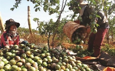 Vì sao HAGL kỳ vọng vào trái cây hơn bò và bất động sản?