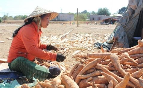 Vietcombank tài trợ 177 tỷ đồng cho dự án chế biến sắn ở Tây Nguyên