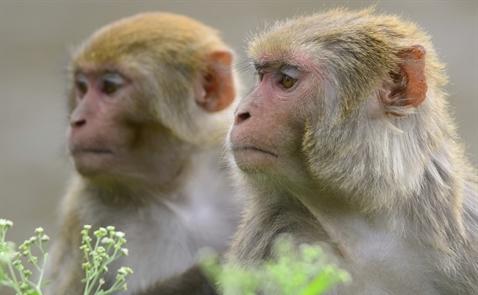 Trung Quốc nhân bản thành công khỉ, tiến gần tới nhân bản người?