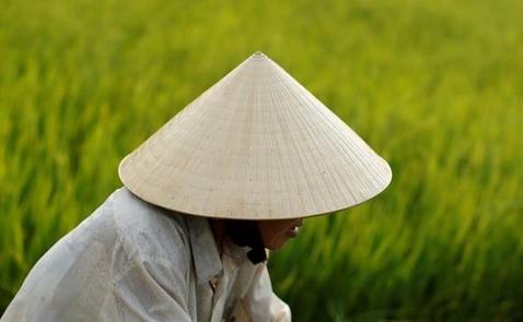 Nikkei: Người Nhật đổ xô trồng gạo Japonica ở Việt Nam