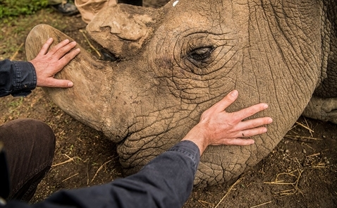 Những hình ảnh về con tê giác trắng phương Bắc cuối cùng trên hành tinh