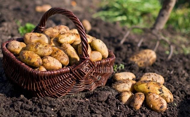 Bỉ muốn giành thị phần khoai tây của Trung Quốc tại Việt Nam