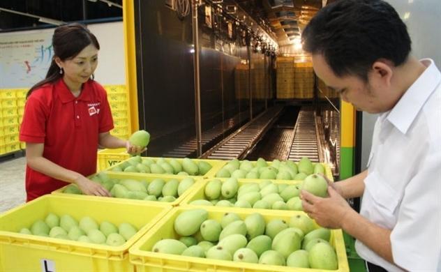 Sau vú sữa, xoài Việt Nam sắp vào thị trường Mỹ