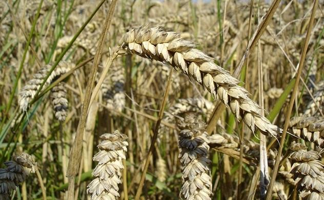 Tự do thương mại của Việt Nam nhìn từ nhập khẩu lúa mỳ từ Nga