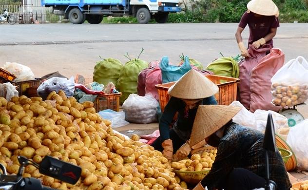 Việt Nam nhập nhiều khoai tây Trung Quốc do diện tích giảm