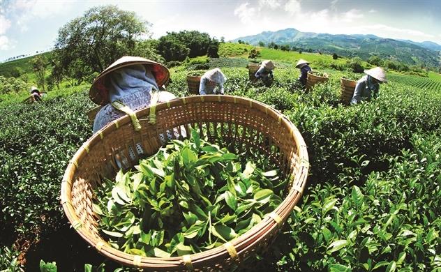 Vì sao chè Việt Nam chỉ bằng 60-70% giá chè thế giới?