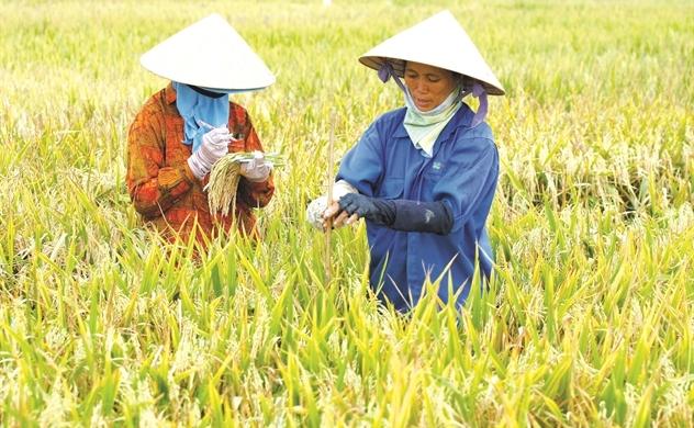 Gạo Việt tìm tương lai bền vững