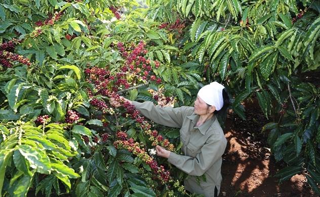 Cà phê Việt Nam trước nguy cơ