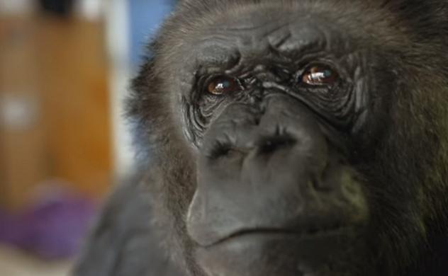 Câu chuyện về chú khỉ có vốn từ vựng và hơn 1.000 dấu hiệu