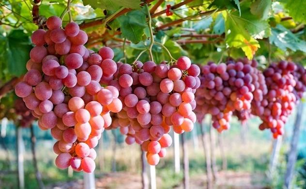 Australia muốn tăng xuất khẩu nho tươi vào Việt Nam