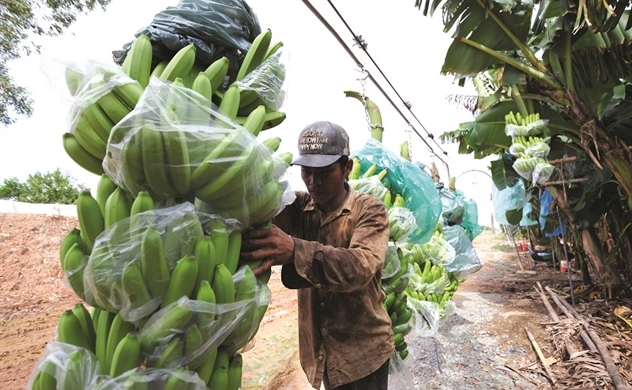 Chuối Việt tìm cơ hội ở thị trường 17 tỉ USD