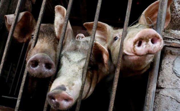 Vietnam urges farmers to rebuild pig herds: Reuters