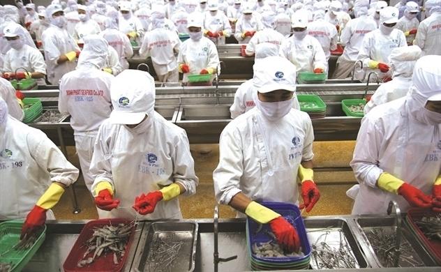 Thiếu hụt nguyên liệu, Minh Phú chi thêm 280 tỷ đồng nuôi tôm