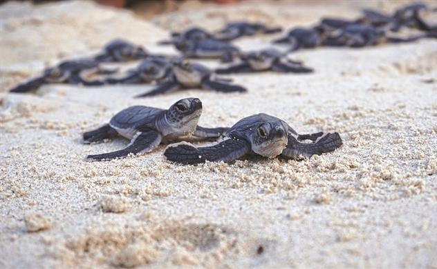 Việt Nam: Nguy cơ tuyệt chủng rùa biển cao nhất thế giới