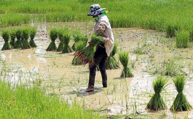 Thái Lan muốn giành lại vị trí nước xuất khẩu gạo lớn nhất thế giới