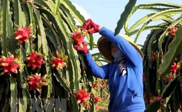 Vietnam's red flesh dragon fruit shipped to Australia