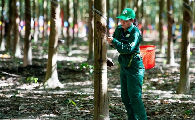 Vietnam rubber producer's market capitalization shrinks $67.5mln on first trading day