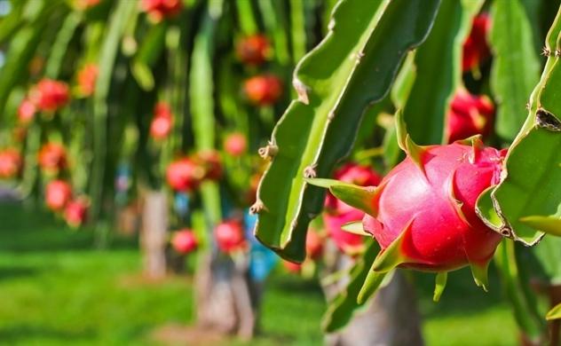 HAGL Agrico nuôi mộng thoát lỗ nhờ mảng cây ăn trái?