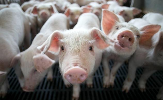 Giá thịt heo leo thang, doanh nghiệp ngành chăn nuôi được mùa