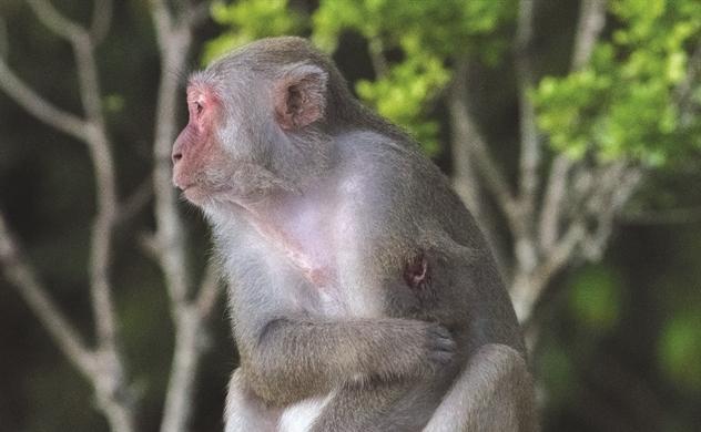 Bắn khỉ ở chùa, nỗi đau bảo tồn!