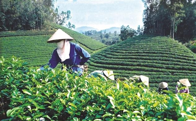 Trà Việt cam chịu xuất thô, chỉ chiếm chưa đầy 20% giá trị sản phẩm