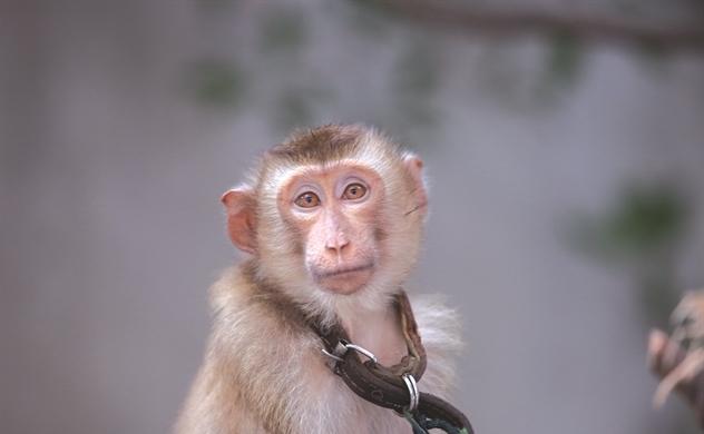 Khỉ là động vật hoang dã, không phải thú cưng