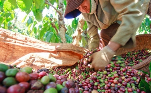 Vietnam's coffee exports to EU surge as free trade deal takes effect