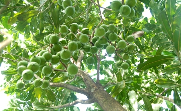 Vietnam eyes 2030 macadamia revenue at $1 billion