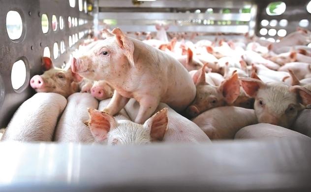 Thắng lớn nhờ nuôi lợn, Dabaco rót vốn thành lập công ty con