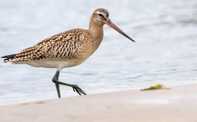 'Jet fighter' godwit breaks world record for non-stop bird flight