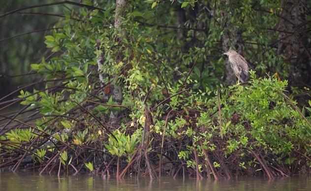 Việt Nam tái sinh rừng ngập mặn tại Vườn Quốc gia Mũi Cà Mau