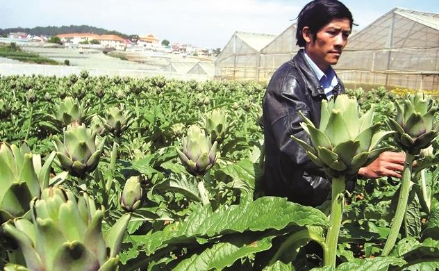 Khai mỏ vàng dược liệu Việt