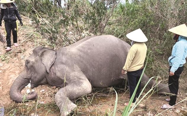 Hồi kết cho nghề thuần dưỡng voi ở Tây Nguyên
