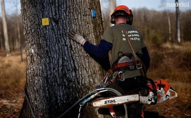 Khôi phục Nhà thờ Đức Bà cần 1.000 cây sồi trăm tuổi
