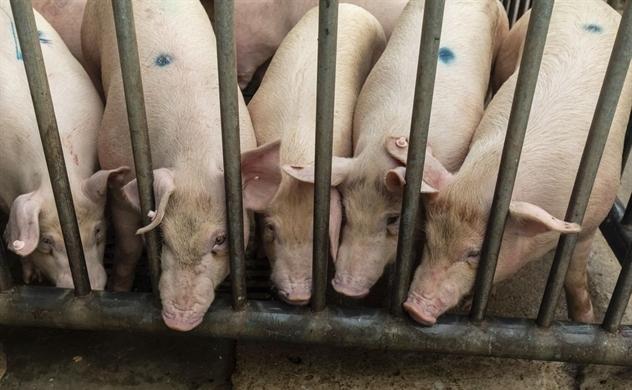 """Lợn """"béo phì"""" ở Trung Quốc khiến giá thịt lợn nước này tụt dốc liên tục"""
