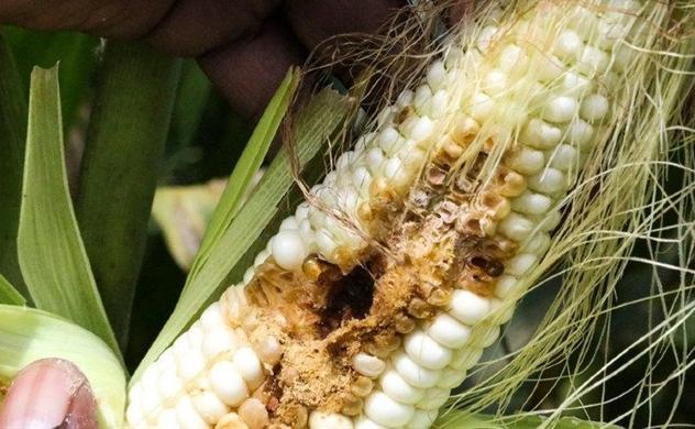 Côn trùng xâm lấn lây lan trên diện rộng trên khắp thế giới do biến đổi khí hậu