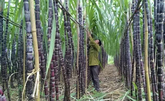 Vietnam levies anti-dumping and anti-subsidy duties on Thai sugar
