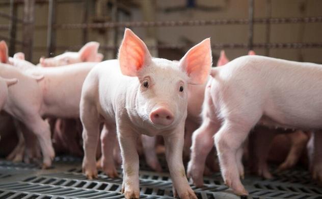 Doanh nghiệp chăn nuôi trả cổ tức 123%